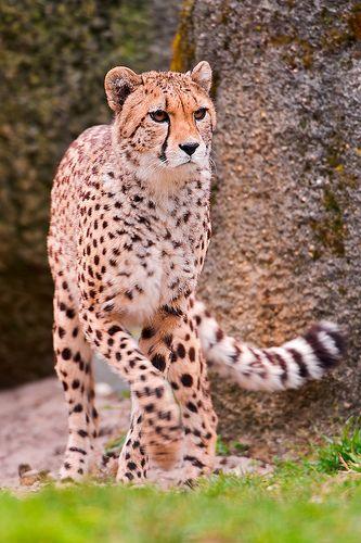 Photo Credit: Tambako The Jaguar
