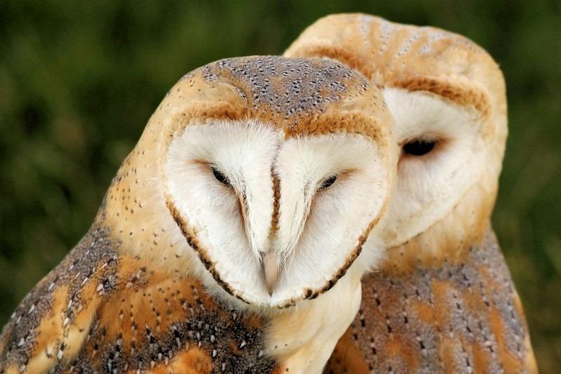 barn-owls