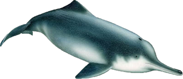 river-dolphin