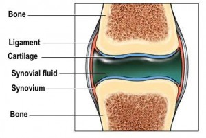 A joint with the synovial fluid inside