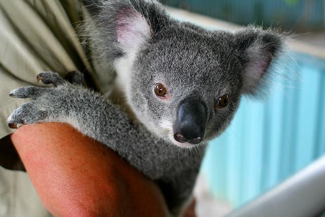 Baby Koala (image source)