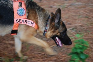 A German Shepherd on a search and rescue mission.