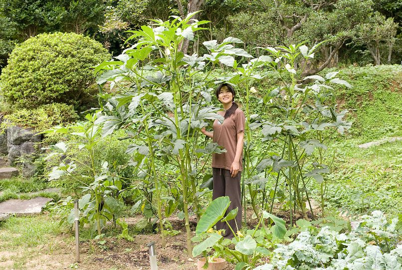 A giant Okra plant