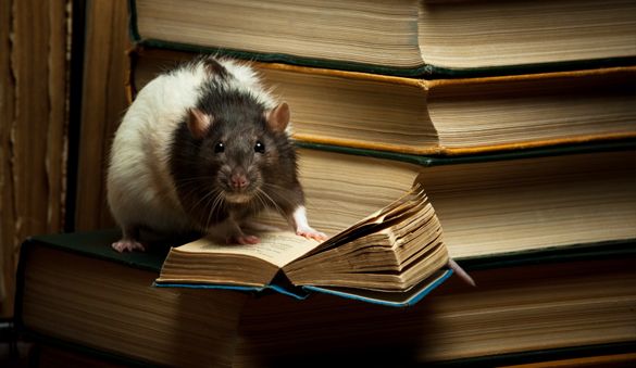 rat reading a book