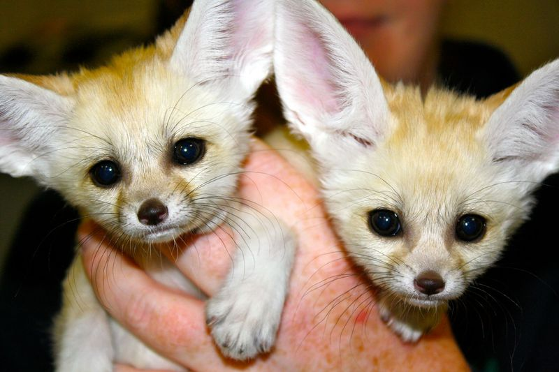 The 10 Coolest Pets You've Never Thought Of | Factual Facts Fennec Fox Newborn